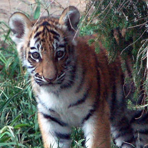 When to see tigers in India