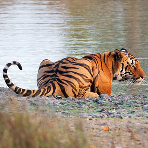 Responsible tiger safaris