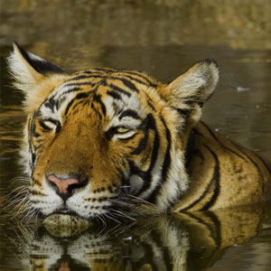 Tiger safaris in Ranthambore National Park