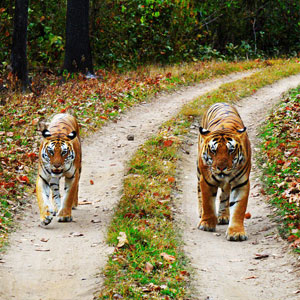Tiger safaris in Kanha National Park