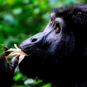Combining African safaris with gorillas