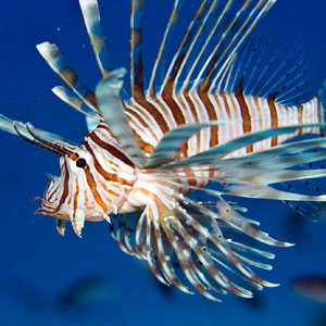 Lionfish spearing in Belize