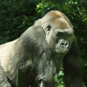 Central African Republic gorilla safaris
