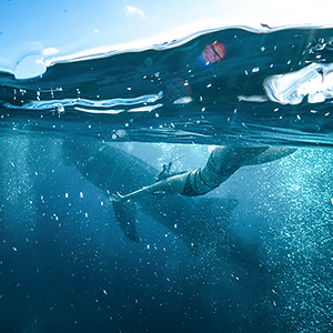 Swimming with whale sharks guide