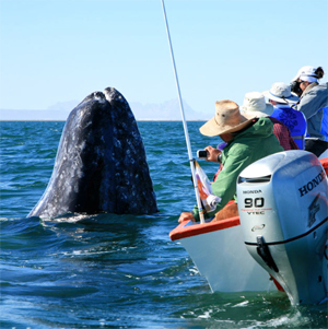 Watching grey whales in Baja