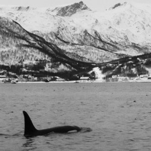 Killer whale watching in Norway
