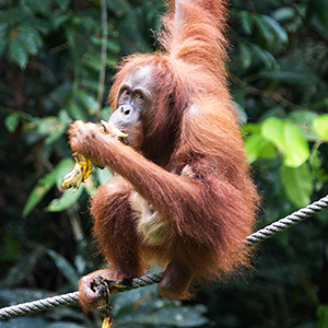 Best place to see orangutans