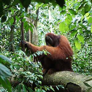 Best place to see orangutans in the wild