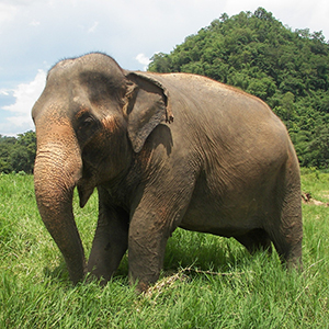 Elephant trekking holidays - right or wrong?