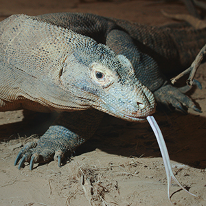 Komodo dragon tours in Indonesia
