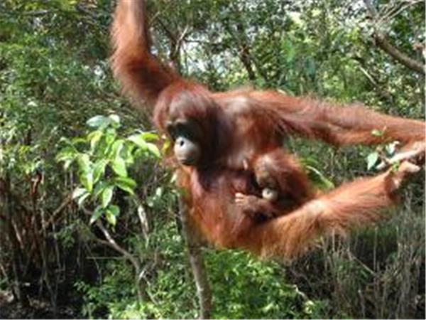 Orangutan conservation charity trek, Indonesia