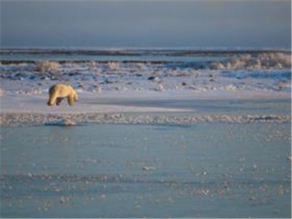 Spitsbergen polar bear watching cruise