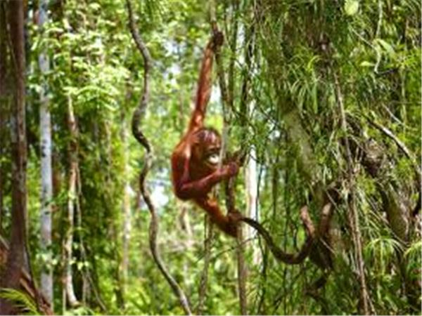 Charity orangutan vacation