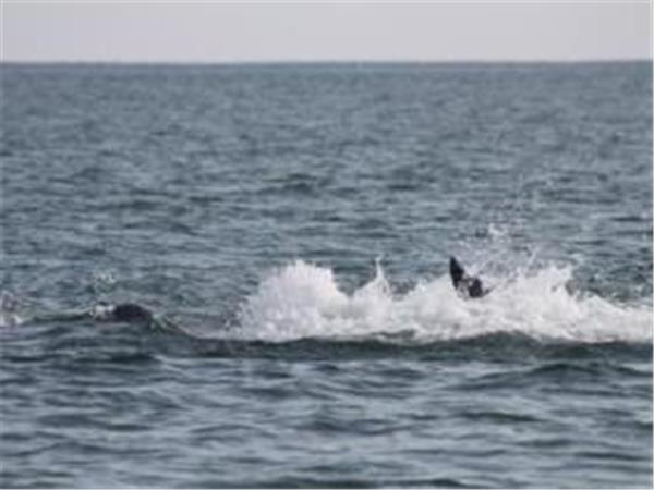 Crystal Coast dolphin watching tours, North Carolina