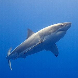 Great white shark conservation in South Africa