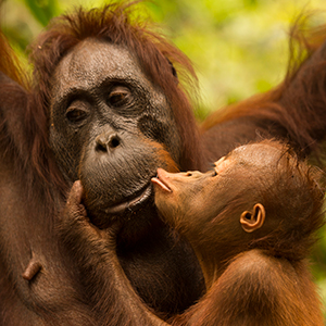 Photography holidays with Orangutans