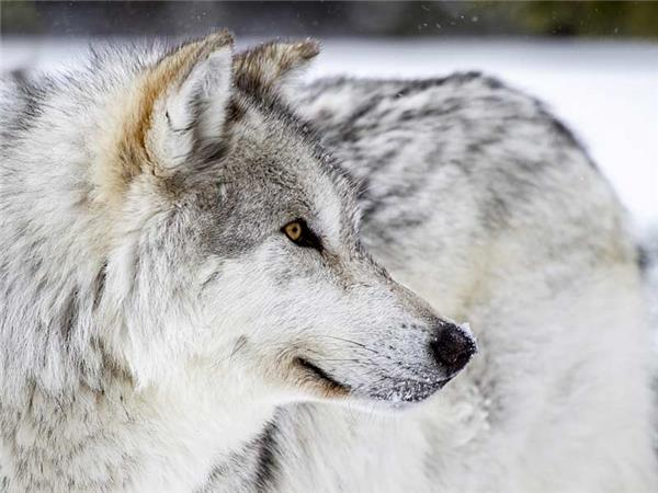 Tracking wolves in Yellowstone in winter