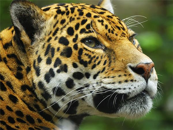 Jaguar watching vacation in Brazil
