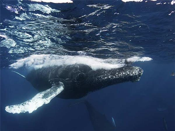 Baja Grey whales and whale sharks, Mexico