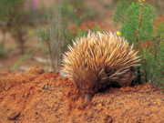 Echidna, South Australia. Photo by South Australia Tourist Board
