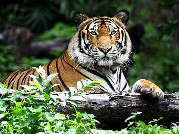 Tiger conservation project in India