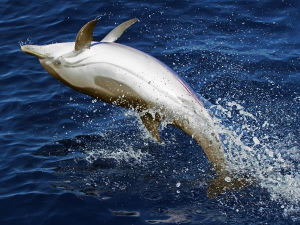 Whale & dolphin research in Ligurian Sea, Italy