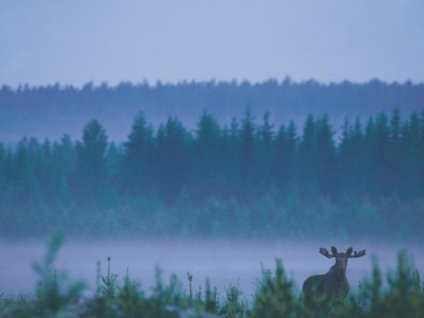 Sweden vacations, Wolves, Moose and Beavers