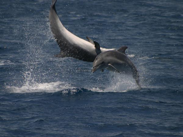 Whale & dolphin research vacation in the Azores, 6 days
