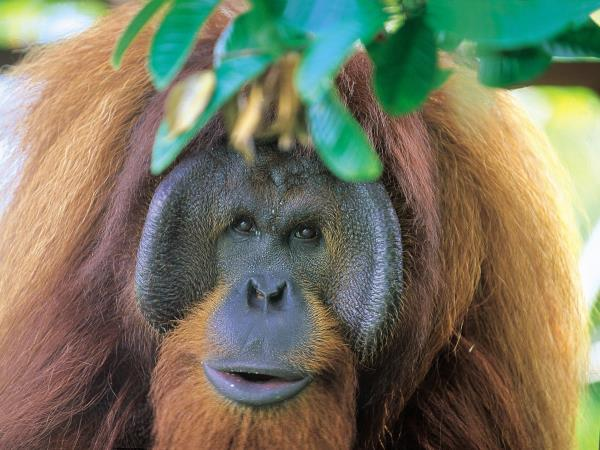 Luxury beach vacation in Borneo & Orangutans