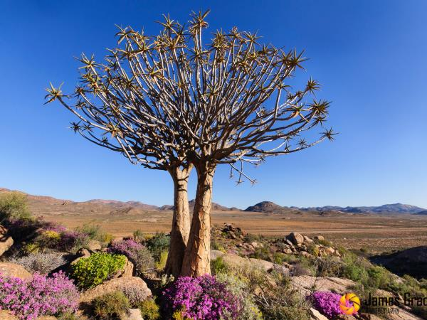 Spring wild flower vacation in Namaqualand, South Africa