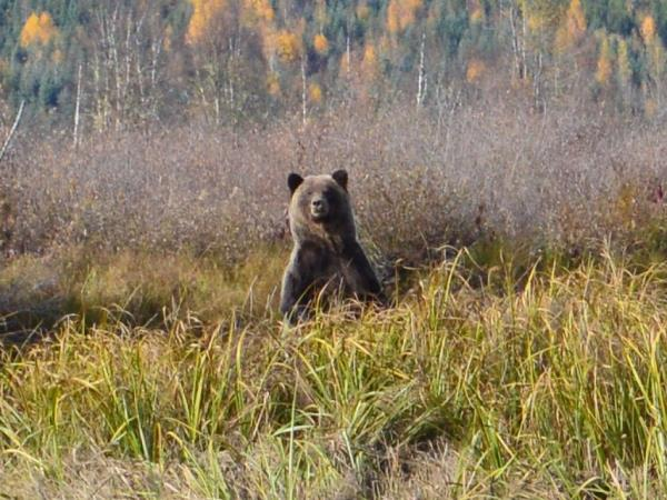 Grizzly bear and wildlife vacation in British Columbia, Canada