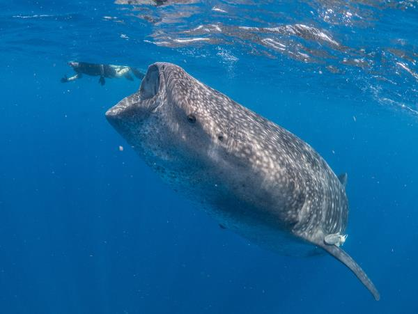 Whale shark research in Mexico