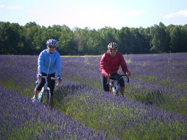 Lavender fields cycling vacation in the South of France