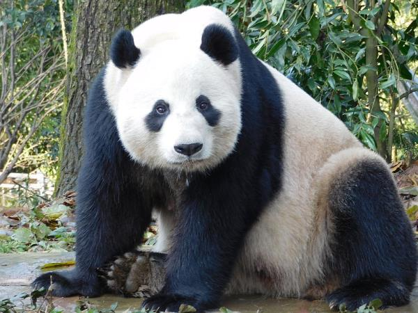 Panda conservation volunteering in China