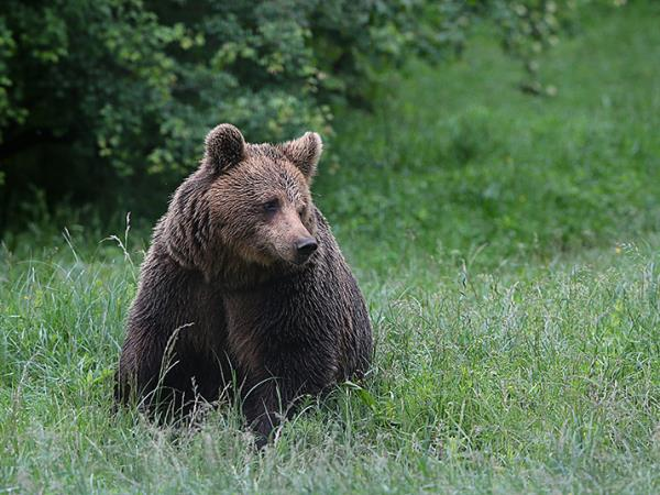 Brown bear watching vacation in Bulgaria