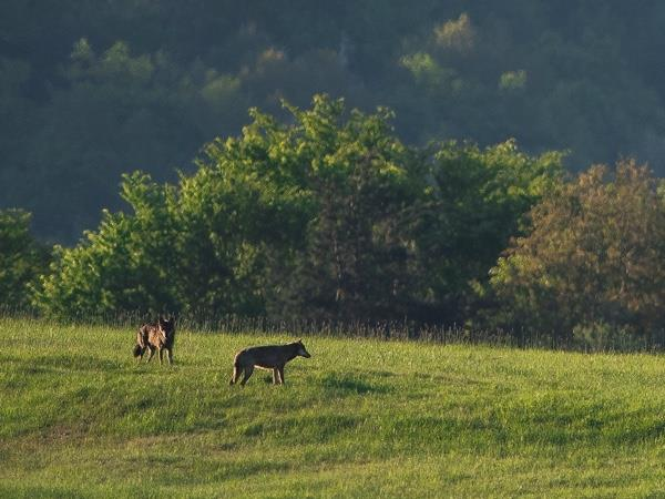 wolf tracking short break in Poland & Slovakia