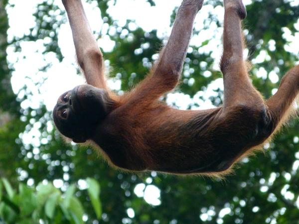 Borneo tour, Great Apes and Beach escapes