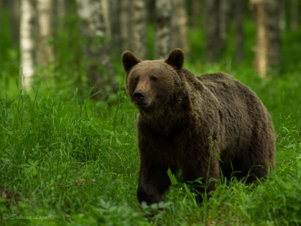 Finland wildlife holiday, whales and bears