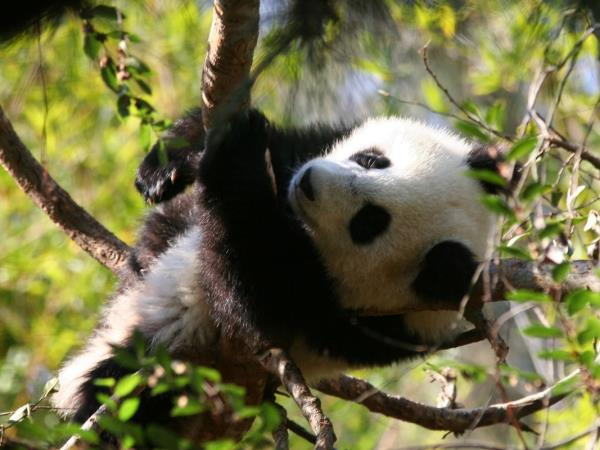 Giant Pandas of China tour