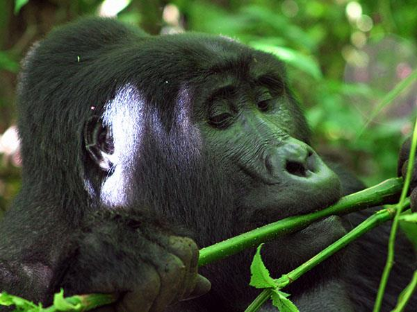 Tailor made gorilla and chimp tracking safari, Uganda