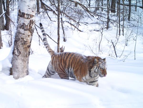 Track leopards and tigers in Siberia
