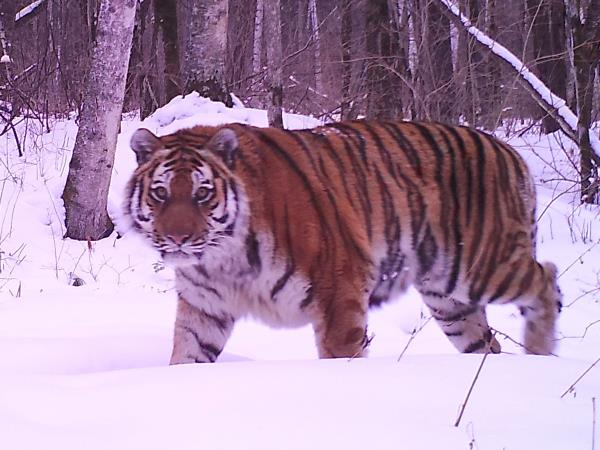 Siberian tiger photography tour