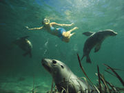 Swimming with Sealions in Eyre Peninsula, South Australia. Photo by South Australia Tourist Board