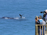 Whale watching at Eyre Peninsula, South Australia. Photo by South Australia Tourist Board