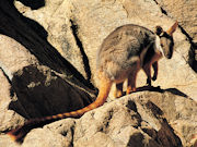 Yellow Footed Rock Wallaby, South Australia. Photo by South Australia Tourist Board
