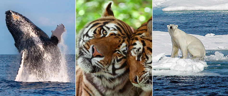 Humpback whale, tigers and polar bear