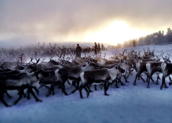 Gathering reindeer in Roros