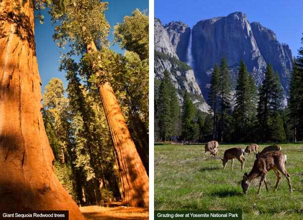 Giant Sequoias and Yosemite National Park