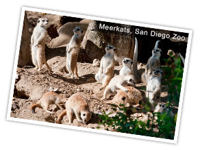 Meerkats at San Diego Zoo
