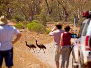 Emu crossing, South Australia. Photo by South Australia Tourist Board